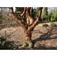 Zimtahorn, 100-125 cm, Acer griseum, Containerware