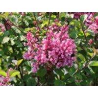 Blütensträucher und Ziergehölze - Zwerg-Duftflieder 'Tinkerbelle' ®, 40-60 cm, Syringa 'Tinkerbelle' ®, Containerware