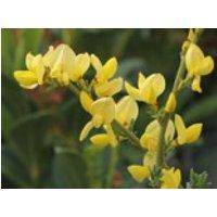 Blütensträucher und Ziergehölze - Zwerg-Elfenbeinginster, 20-30 cm, Cytisus kewensis, Containerware