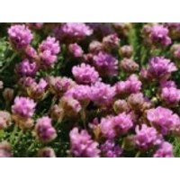 Zwerg-Grasnelke, Armeria juniperifolia, Topfware