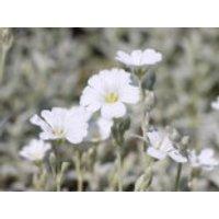 Zwerg Hornkraut / Silber Hornkraut, Cerastium tomentosum, Containerware