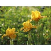 Zwerg-Schwertlilie 'Baria', Iris x barbata-nana 'Baria', Topfware