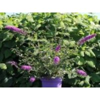 Blütensträucher und Ziergehölze - Zwerg-Sommerflieder / Schmetterlingsstrauch 'Summer Lounge' ® (Purple), 20-30 cm, Buddleja davidii 'Summer Lounge' ® (Purple), Containerware