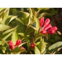 Blütensträucher und Ziergehölze - Zwerg-Weigelie 'All Summer Red' ®, 10-20 cm, Weigela florida 'All Summer Red' ®, Containerware