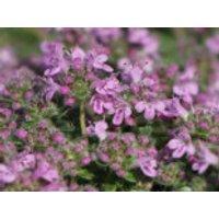 Zwergiger-Thymian 'Minor', Thymus praecox 'Minor', Topfware