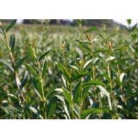 immergrüne Laubbäume - Zwergliguster 'Lodense', 20-30 cm, Ligustrum vulgare 'Lodense', Containerware