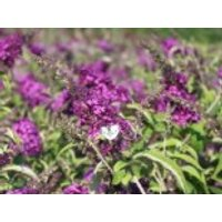 Blütensträucher und Ziergehölze - Zwerg-Sommerflieder / Schmetterlingsstrauch 'Buzz ® Pink Purple', 15-20 cm, Buddleja davidii 'Buzz ® Pink Purple', Containerware