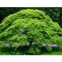 Large Acer Japanese Maple Tree - Emerald Lace