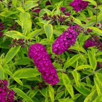 Buddleja davidii Santana - Butterfly Bush - Golden Variegated Buddleia