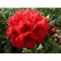 Red Jack Rhododendron Tree - 100cm-120cm