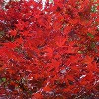 Acer palmatum Red Wine