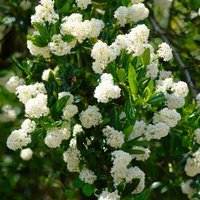 Ceanothus thyrsiflorus Millerton Point - Snow Flurries Evergreen White Californian Lilac