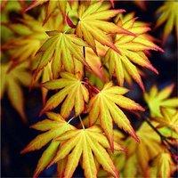 Acer palmatum Katsura - Japanese Maple