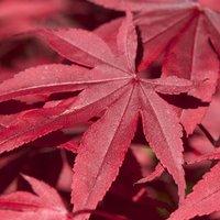 Acer palmatum Nathan - Japanese Maple