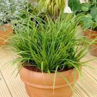 Carex morrowii Variegata - Pack of THREE