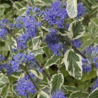 Caryopteris White Surprise