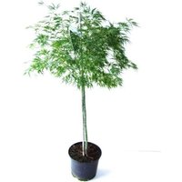 Large 100cm Weeping Acer Japanese Maple Tree - Dissectum Emerald Lace