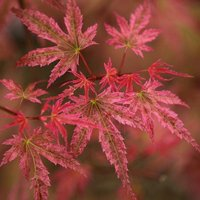 Acer palmatum Phoenix - Japanese Maple