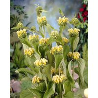 Phlomis russeliana - Turkish or Jerusalem Sage