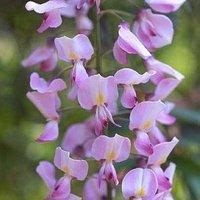 Wisteria floribunda Rosea - Pink Japanese Wisteria