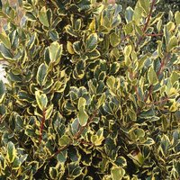 Ilex Golden King - Holly