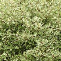 Cornus alba Sibirica Varigata (Elegantissima)