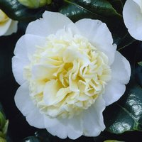Camellia japonica Brushfield Yellow - Double Flowered Bushfield Camellia