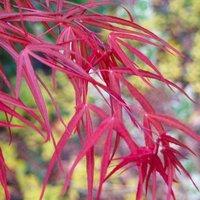 Acer palmatum Atrolineare