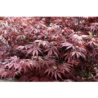 Large Acer Japanese Maple Tree - Suminagashi