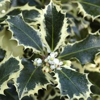 Ilex Silver Queen - Large Holly