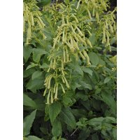 Phygelius Moonraker - Yellow Flowering Cape Fuchsia