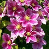 Clematis Piilu - Summer Flowering Clematis