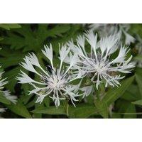 Centaurea montana