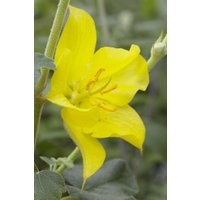 Fremontodendron California Glory - Californian Flannel Bush