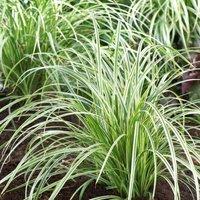 Carex Silver Sceptre