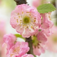 Prunus triloba - Double Flowering Cherry - Almond SHRUB