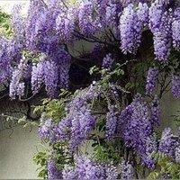 Wisteria sinensis Prolific - Blue