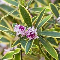 Daphne odora Marianni - Fragrant Evergreen Variegated Daphne Shrub