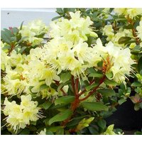SPECIAL DEAL - Rhododendron Princess Anne - Dwarf Rhododendron