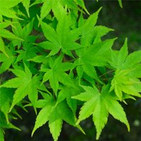 Acer palmatum Duo - Young Japanese Maple Trees