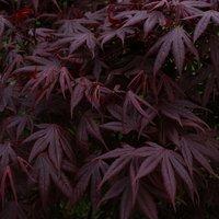 Acer palmatum atropurpureum Bloodgood - Deep Purple Japanese Maple