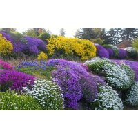 Alpine Plant Collection - Pack of 5 Alpine Rockery Plants