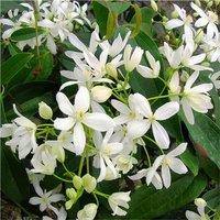 Clematis armandii - Fragrant Evergreen Spring Flowering Clem
