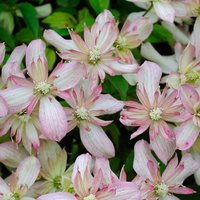 Clematis montana Marjorie - 1 Plant with FREE delivery!