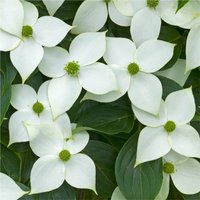 Cornus kousa China Girl - Chinese Dogwood - 100-150cm +