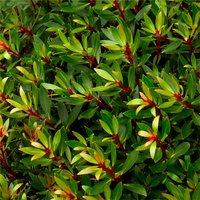 Drimys lanceolata ���Red Spice��� - Evergreen Tasmannia Mountain Pepper