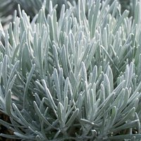 Helichrysum italicum Silverball - Curry Plant