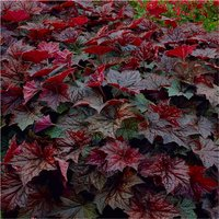 Heuchera Palace Purple - Crimson Coral Bells - Pack of THREE Plants
