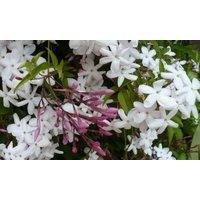 Jasminum officinale - Jasmine polyanthemum - Scented Chinese Jasmin
