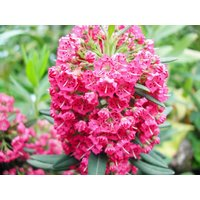 Kalmia angustifolia Rubra - Mountain Laurel